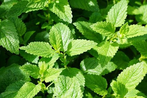 Menta-Erbe-aromatiche