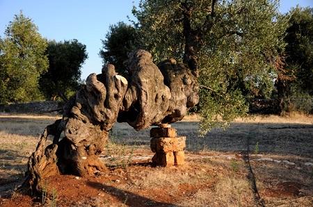 Vecchio-ulivo-secolare