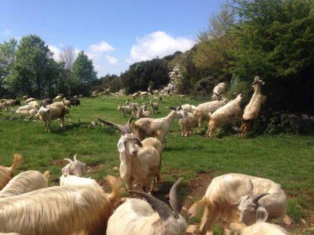 Ruggieri-Giuseppe-capre-pascolo