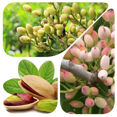 pianta-pistacchio