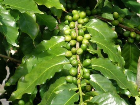 Caffè Arabica e Robusta: tutte le differenze