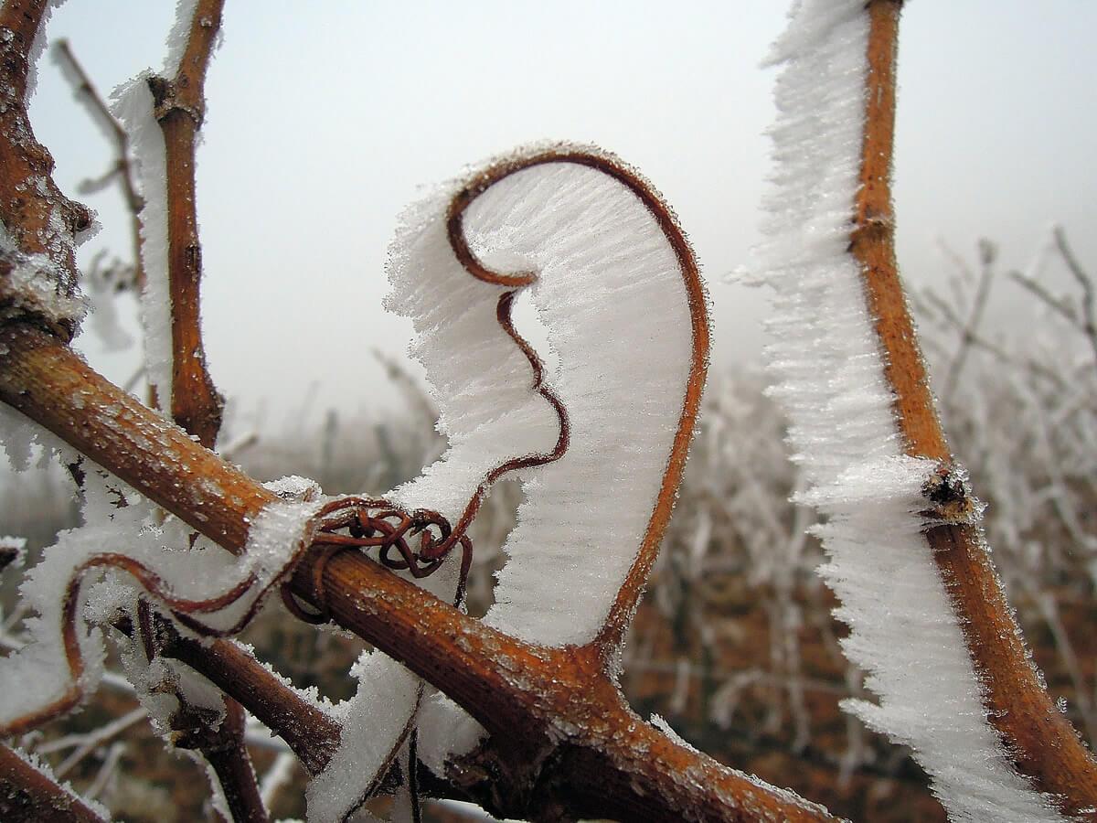 Cosa sono gli Eiswein o vini di ghiaccio