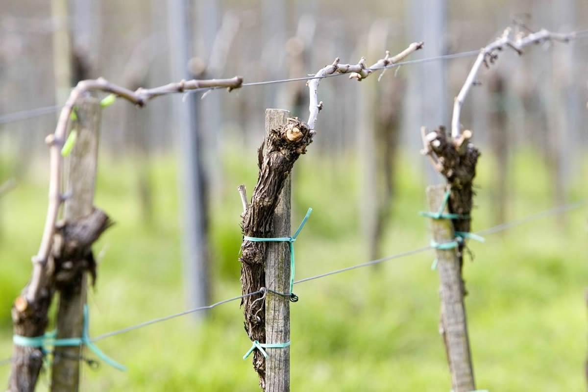 Convegno PIWI sui vitigni resistenti, esperti a Bassano del Grappa