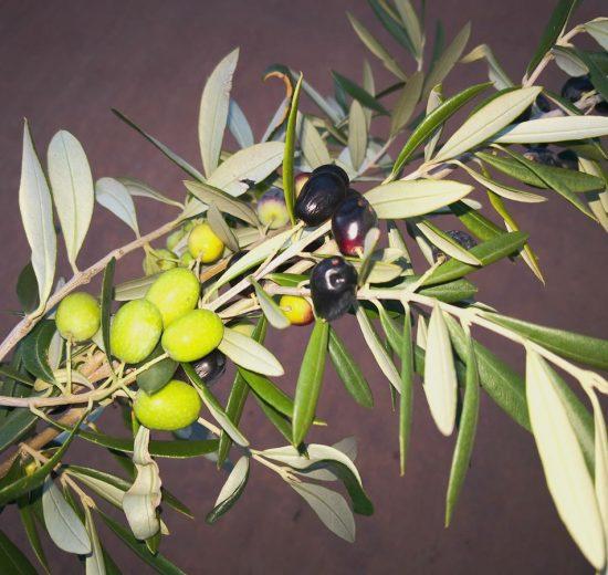 Progetto SOS su olio d'oliva: nuova vita agli scarti di lavorazione