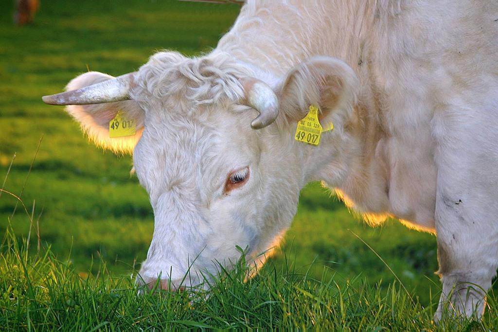 Come vanno alimentati gli animali per ottenere latte fieno