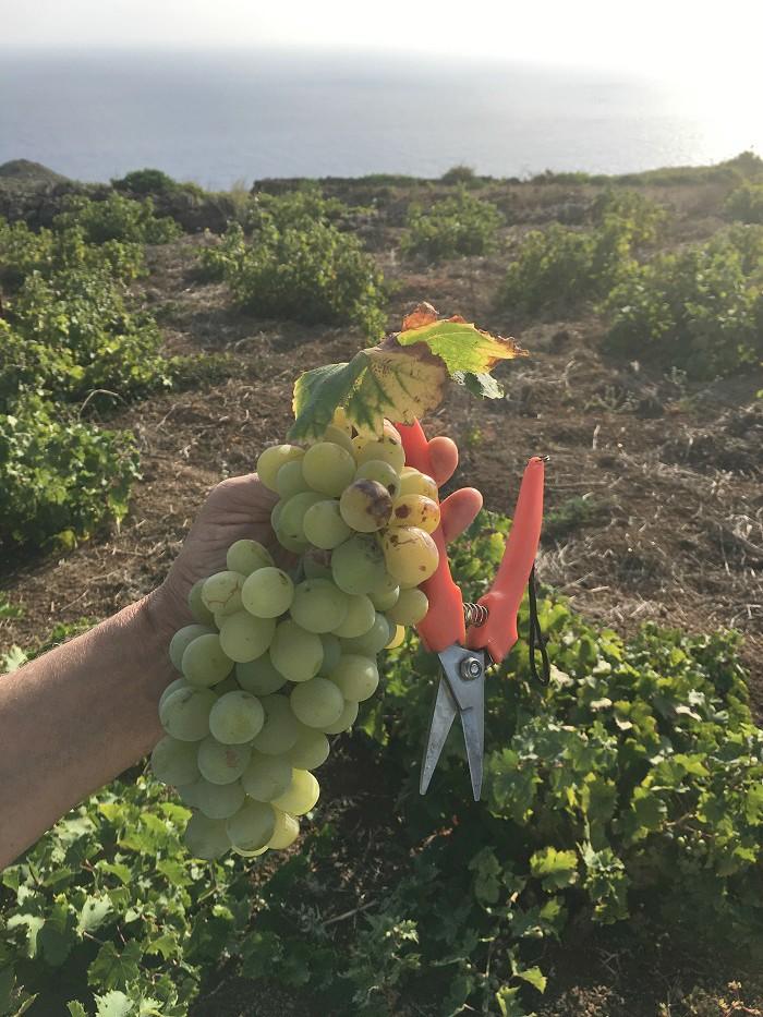 Vendemmia dello Zibibbo a Pantelleria