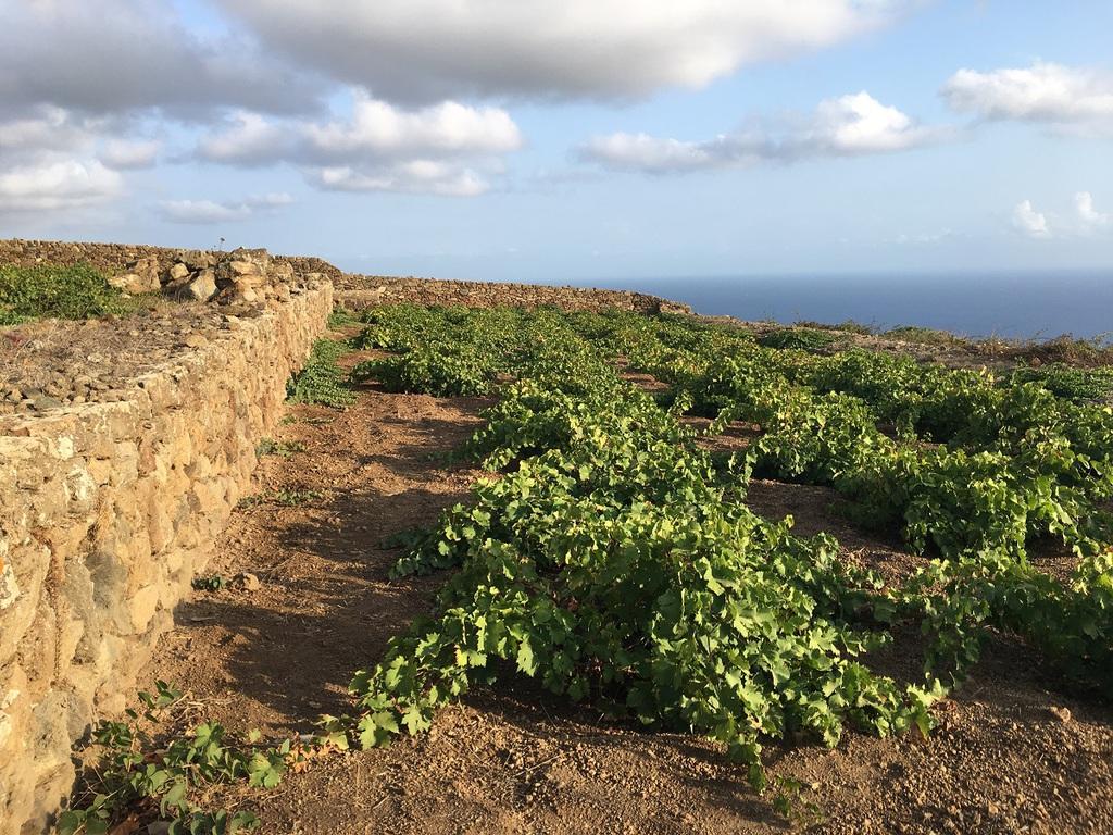 Ciome si svolge la vendemmia a Pantelleria
