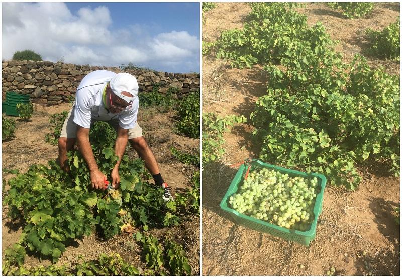 Produzione di Passito di Pantelleria