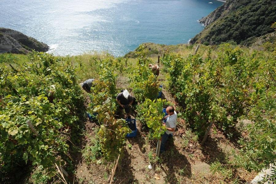 Vini Cantine Mazzella di Ischia: Vigna del Lume 2018