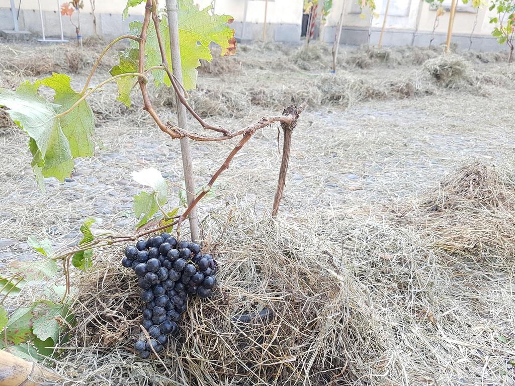 Vigne urbane di Torino e vitigni autoctoni