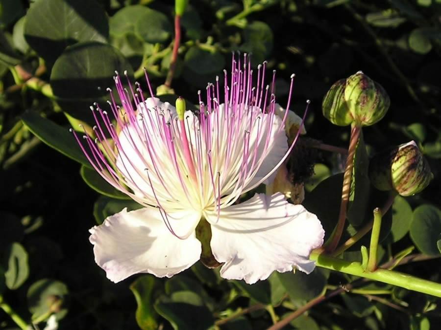 Fiore del Cappero delle Isole Eolie