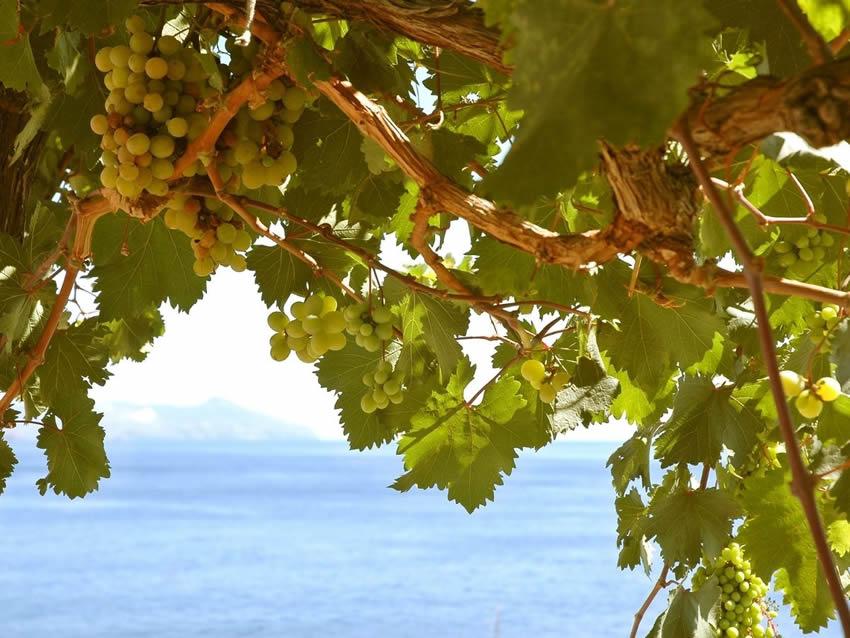Vitigno Malvasia di Sardegna