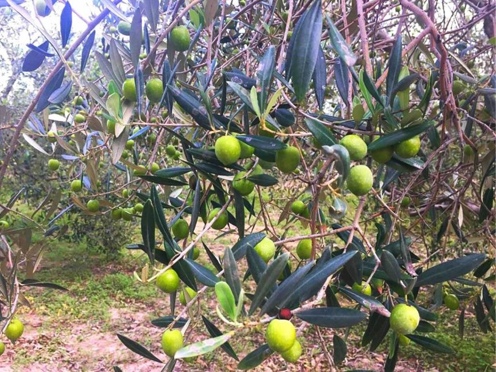 Olio extravergine di oliva Dop di Sardegna