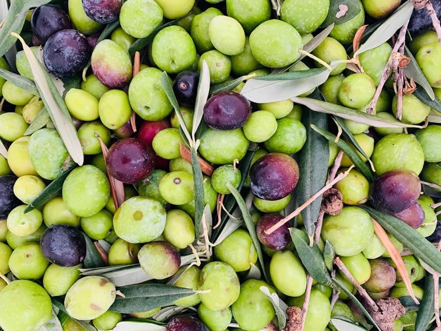 Varietà di olive di Sicilia