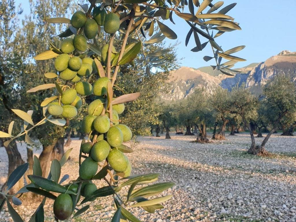 Olio evo Abruzzo: l'Oliva Intosso di Casoli