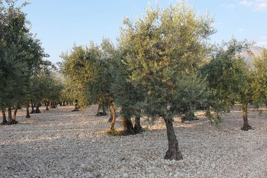 Oliva Intosso di Casoli, caratteristiche della cultivar abruzzese