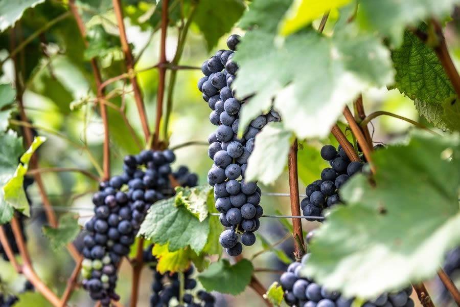 Grappoli di uva per il Teroldelgo Rotaliano DOC
