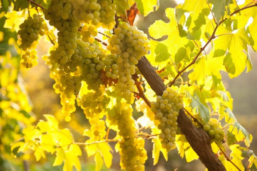 Tutto sugli orange wine: storia, caratteristiche, abbinamenti
